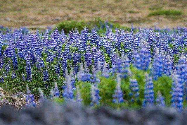 一面に咲く青い花